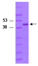 SDS-PAGE - CDC42 protein (Tagged) (ab82626)