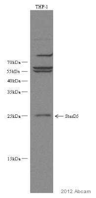 Western blot - Anti-STARD5 antibody (ab82636)