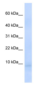 Western blot - CEND1 antibody (ab82648)