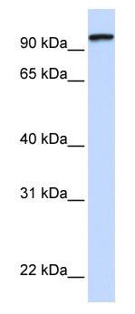 Western blot - PCDHGC3 antibody (ab82650)