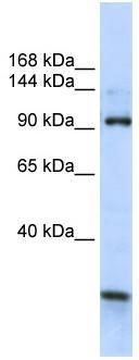 Western blot - KIAA1024 antibody (ab82753)