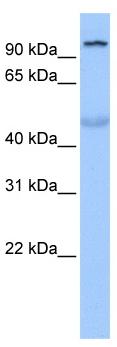 Western blot - TULP3  antibody (ab82775)