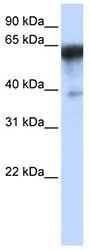 Western blot - KIRREL antibody (ab82804)