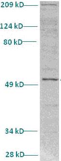 Western blot - SHARP1 antibody (ab82825)