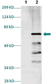 Western blot - PAX8 antibody (ab82845)