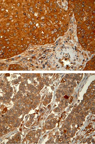 Immunohistochemistry (Formalin/PFA-fixed paraffin-embedded sections) - Anti-PHD1/prolyl hydroxylase antibody [PHD112/G7] (ab82884)