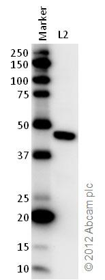 Western blot - Anti-EEF1A2 antibody (ab82912)