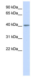 Western blot - 5HT5A receptor antibody (ab82924)