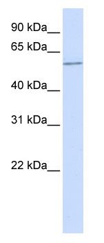 Western blot - HSF2 antibody (ab82931)