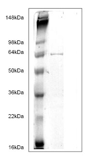 SDS-PAGE - GPD2 protein (His tag) (ab82942)