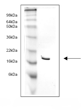 SDS-PAGE - intestinal FABP protein (His tag) (ab82947)