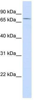 Western blot - ZNF442 antibody (ab82948)