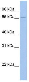 Western blot - SGT1 antibody (ab82956)