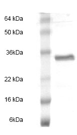 SDS-PAGE - Human EBI3 full length protein (ab83026)