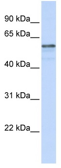 Western blot - TMEM195 antibody (ab83030)