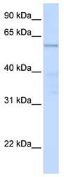 Western blot - C16orf71 antibody (ab83035)