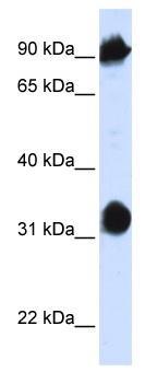 Western blot - HSPA4 antibody (ab83067)