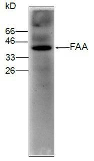 Western blot - Fumarylacetoacetate hydrolase antibody [2] (ab83078)