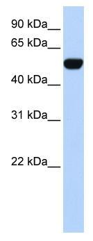 Western blot - BTBD10 antibody (ab83085)