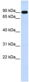 Western blot - ZXDA antibody (ab83092)