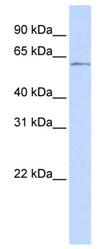 Western blot - NFIC antibody (ab83104)
