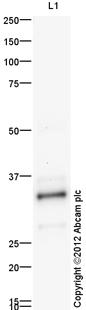 Western blot - Anti-Apolipoprotein E  antibody (ab83115)
