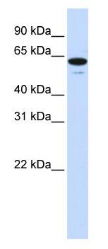 Western blot - zinc finger protein 655 antibody (ab83192)