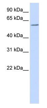 Western blot - Pokemon antibody (ab83197)