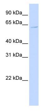 Western blot - ZNF579 antibody (ab83198)