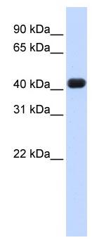 Western blot - RTCD1 antibody (ab83200)