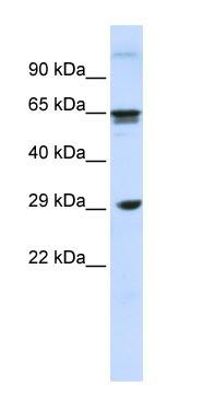 Western blot - CD299 antibody (ab83201)