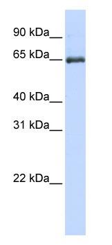 Western blot - HSPA2 antibody (ab83204)