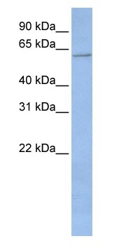 Western blot - Cytochrome p450 2C19 antibody (ab83233)