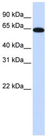 Western blot - NR2C2 antibody (ab83285)