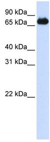 Western blot - ILF1 antibody (ab83286)