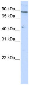 Western blot - ZNF280C antibody (ab83287)