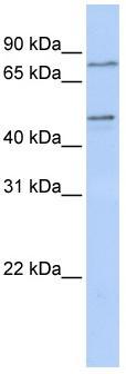 Western blot - ZNF491 antibody (ab83294)