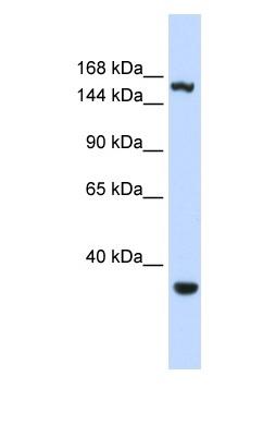 Western blot - eIF4GII antibody (ab83330)