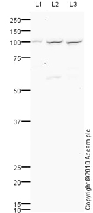 Western blot - TLR3 antibody (ab83338)