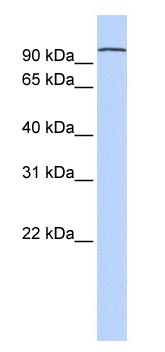 Western blot - PCDHA3 antibody (ab83346)