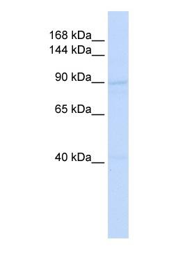 Western blot - SCAND3 antibody (ab83451)