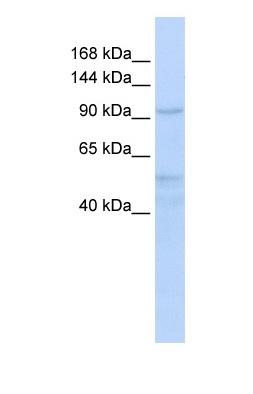 Western blot - INTS4 antibody (ab83452)