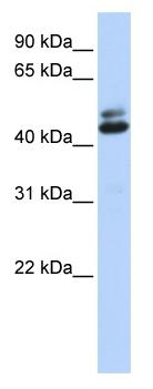 Western blot - A2BP1 / Fox1 antibody (ab83454)