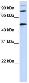 Western blot - COG4 antibody (ab83479)
