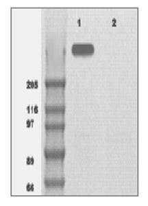 Western blot - mTOR antibody (ab83495)