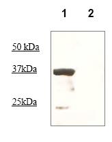 Western blot - Anti-Oct4 antibody (ab83498)