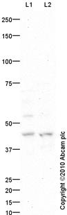 Western blot - RUNX3 antibody (ab83500)