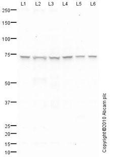 Western blot - Ku70 antibody (ab83501)