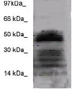 Western blot - FOXA2 antibody (ab83517)