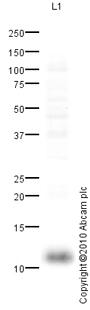 Western blot - Psoriasin antibody (ab83534)